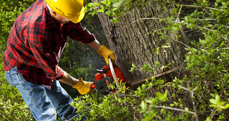 Forester or lumberjack man cuts down hardwood trees using his chainsaw in forest. Hardhat, gloves.